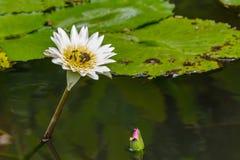 пчелы цветка вода lilly Стоковая Фотография RF