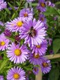 пчелы штанг очищают работу нектара рамки Стоковое Фото