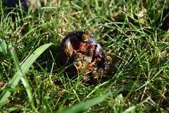 Пчелы для еды упаденной сливы Стоковые Изображения RF