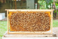 Пчелы Стоковое Изображение RF