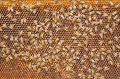 Пчелы Стоковое Фото