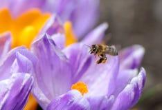 Пчелы Стоковые Фотографии RF