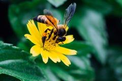 Пчелы Gaysorn нектар от цветков Пчела на цветках с предпосылкой зеленого цвета злаковика стоковое фото