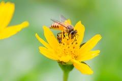 Пчелы Gaysorn нектар от цветков Пчела на цветках с предпосылкой зеленого цвета злаковика Стоковые Изображения