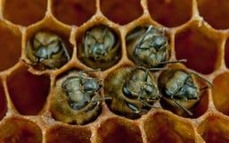 Пчелы Yong внутрь Стоковая Фотография RF