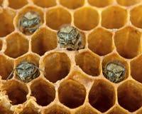 Пчелы Yong внутрь Стоковые Изображения RF