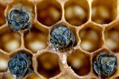 Пчелы Yong Стоковые Изображения RF