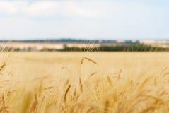 пшеница близких ушей зрелая поднимающая вверх Стоковая Фотография RF