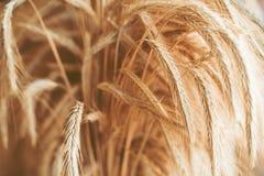 пшеница близкого поля золотистая поднимающая вверх Стоковое фото RF