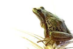 пшеница вала черенок лягушки Тихая океан сидя Стоковые Фото