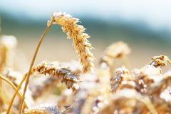 пшеница вектора иллюстрации поля Стоковое Изображение RF