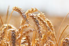 пшеница вектора иллюстрации поля Стоковое фото RF