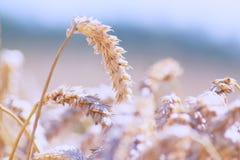 пшеница вектора иллюстрации поля Стоковые Изображения RF