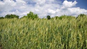пшеница вектора иллюстрации ушей акции видеоматериалы