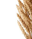 пшеница вектора иллюстрации ушей стоковые фото