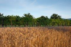 пшеница виноградника поля Стоковые Фотографии RF