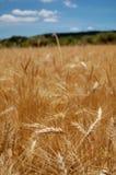 пшеница времени хлебоуборки поля зрелая Стоковое Изображение RF