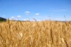 пшеница времени хлебоуборки поля зрелая Стоковая Фотография RF
