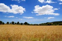 пшеница времени хлебоуборки поля зрелая Стоковые Фотографии RF
