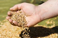 Пшеница в ладонях Стоковые Изображения RF