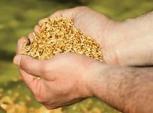 Пшеница в ладонях Стоковая Фотография