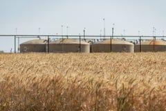 Пшеница в ветре стоковые фото