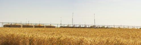 Пшеница в ветре стоковое фото rf