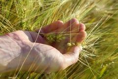 Пшеница в ладони в поле летом стоковые изображения rf