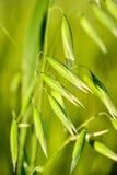 Пшеница в макросе Стоковое Изображение RF