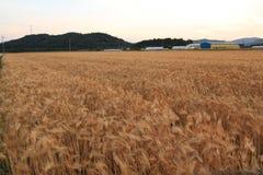 Пшеница в поле фермы стоковое изображение