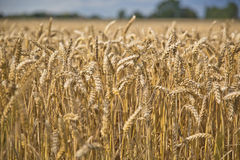 Пшеница в поле Стоковое фото RF