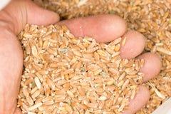 Пшеница в руке Конец-вверх Стоковые Фотографии RF