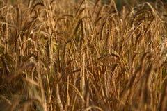 Пшеница в лучах захода солнца Стоковые Фотографии RF