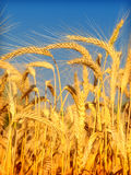 пшеница голубого неба Стоковое Изображение RF