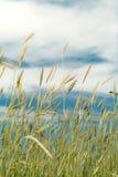 пшеница голубого неба Стоковые Фотографии RF