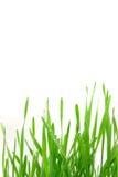 пшеница граници зеленая Стоковые Изображения
