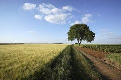 пшеница грецкого ореха вала поля Стоковое Изображение RF