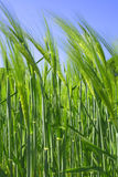 пшеница детали Стоковая Фотография RF