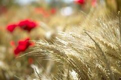 пшеница лета поля дня горячая Уши золотого конца пшеницы вверх Свет лета, золотой Стоковое Изображение RF