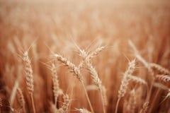 пшеница лета поля дня горячая Уши золотого конца пшеницы вверх Красивый ландшафт захода солнца природы Сельский пейзаж под сияющи Стоковое Фото