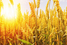 пшеница лета поля дня горячая Уши золотого конца пшеницы вверх Красивый ландшафт захода солнца природы Сельский пейзаж под сияющи Стоковое Изображение