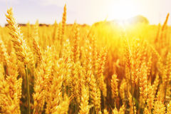 пшеница лета поля дня горячая Уши золотого конца пшеницы вверх Красивый ландшафт захода солнца природы Сельский пейзаж под сияющи Стоковое Изображение RF