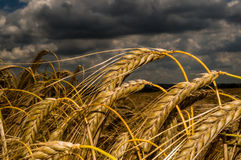 пшеница лета поля дня горячая стоковое фото