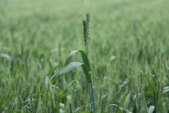 пшеница лета поля дня горячая Стоковые Изображения RF