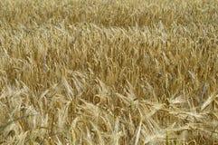 пшеница лета поля дня горячая Стоковое Изображение RF