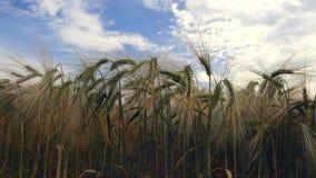 пшеница лета поля дня горячая сток-видео