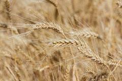 пшеница лета поля дня горячая Стоковое фото RF