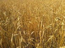 пшеница лета поля дня горячая Стоковые Изображения