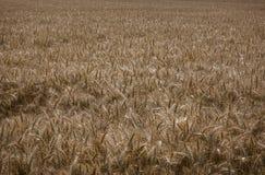 пшеница лета поля дня горячая Стоковое Изображение