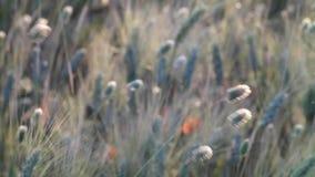 пшеница лета поля дня горячая видеоматериал